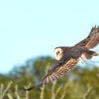 African Grass Owl banking over a reed bed