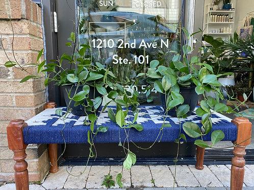 8' Hoya australis Hanging Basket