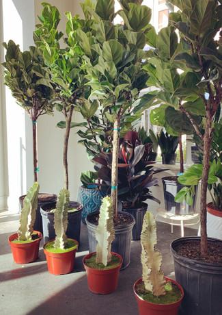 Little Fiddle & Variegated Cacti