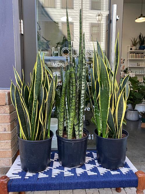 """8"""" Large Snake plant (Sansevieria Trifasciata Mix)"""