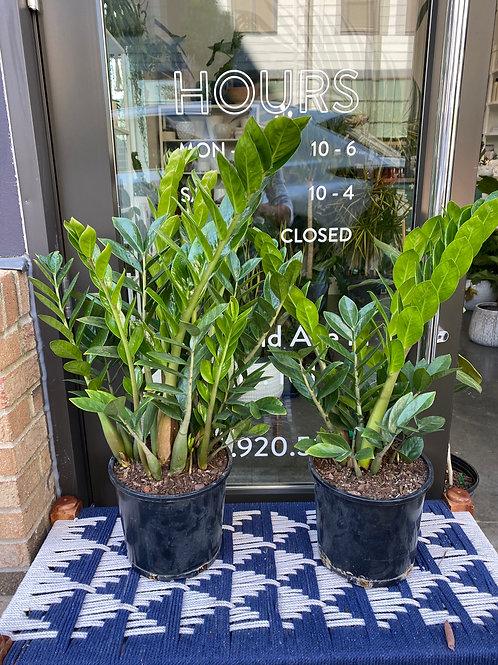 ZZ Plant (Zamioculcas Zamiifolia
