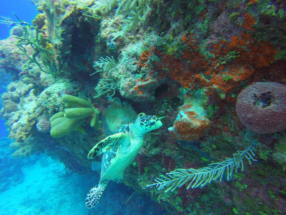 scuba turtle Cayman