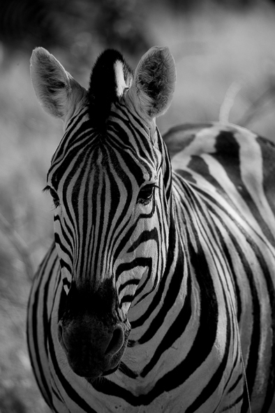 Zebra in Ethosha