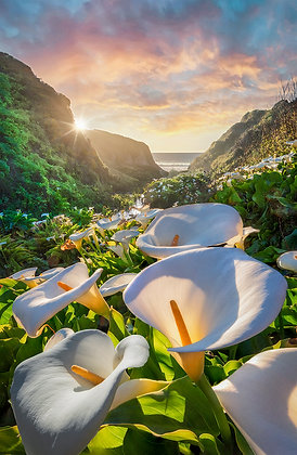 Calla Lily of the Valley, Big Sur, California