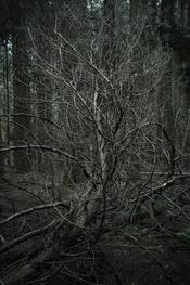 Fallen tree branch in dark woods. Dowdeswell wood.