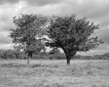 One of a series of Black and white photographs of Hawthorn trees on Cleeve Common, by photographer Simon J Hollington