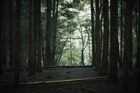 Woodland plantation conifers. Dowdeswell wood