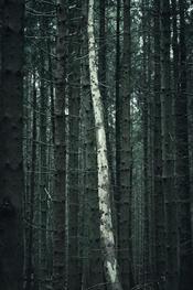 Light tree trunk. Dowdeswell wood.