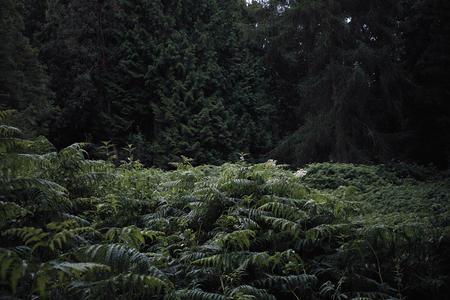 Woodland ferns and conifers. Dowdeswell Wood