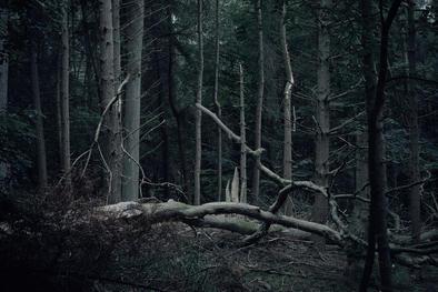 Fallen tree in woodland opening