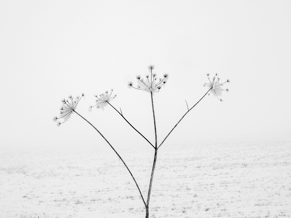 Winter in the Cotswolds. Black and white nature photograph of Cow Parsley covered in snow.