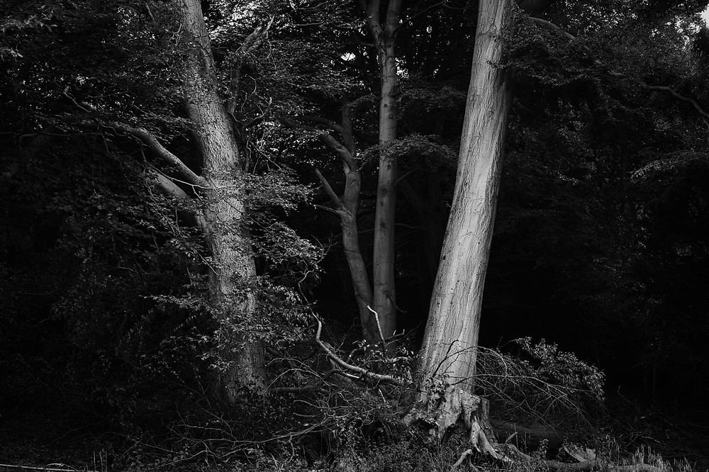 Black and white photograph of Cotswold Woodland Trees