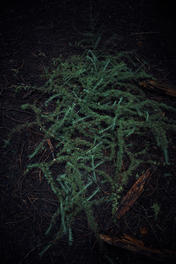 Tangled conifer tree branches on dark woodland floor