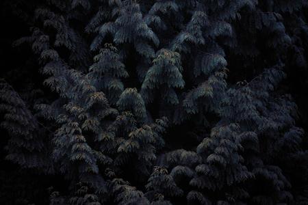 Dark Conifers. Dowdeswell Wood