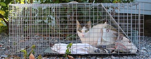 feral-cat-in-trap.jpg