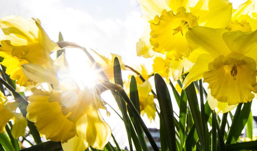 Påskelilje, påske, blomst-723x426.jpg