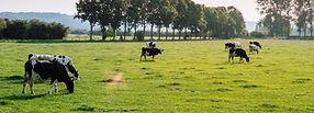 Vieh in der Weide