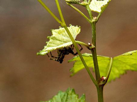 Var försiktig i vingården...