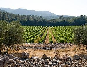 Vignes depuis oliviers.jpg