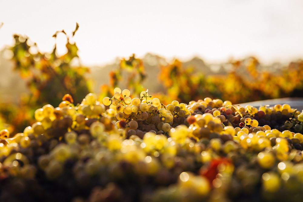 Barossa Valley Wine Grapes Sunset wedding honeymoon destinations