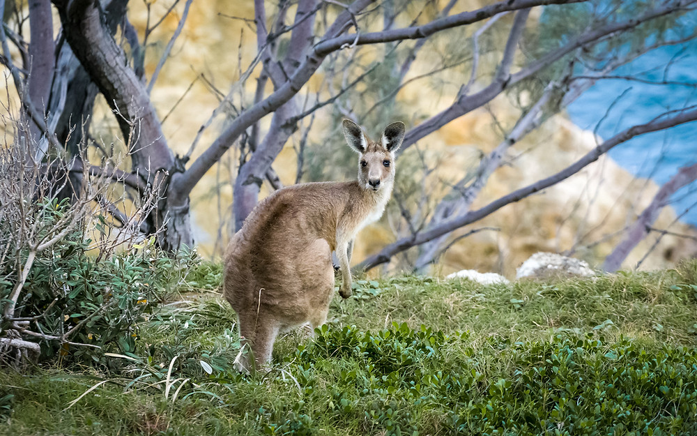 Kangaroo at Esperance the best wedding honeymoon destinations