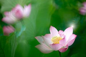 Lotus groen.jpg