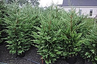 murray cypress seedlings
