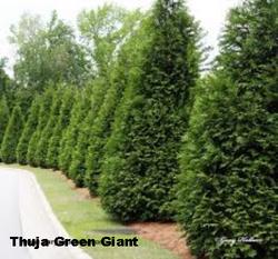 green-giant-tree2