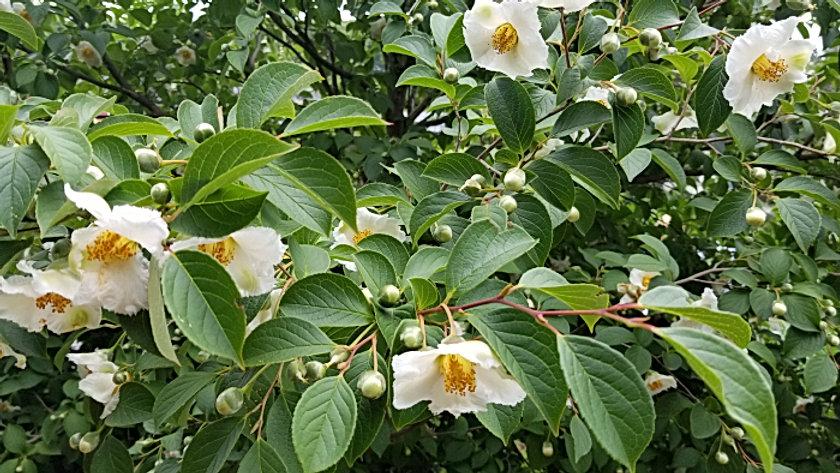 japanese stewartia trees