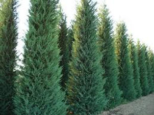 murray cypress trees