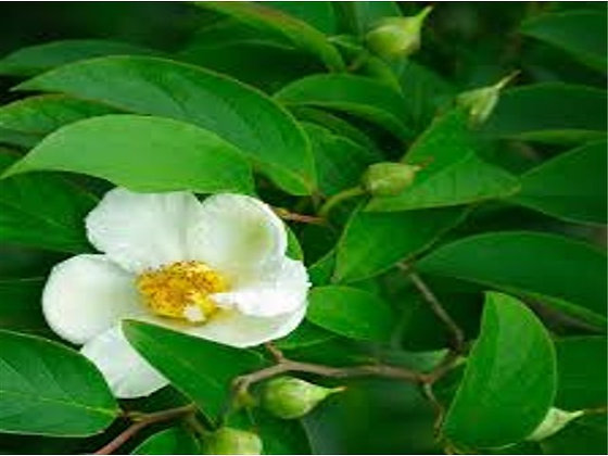 Stewartia Trees | 5 to 6 Ft.