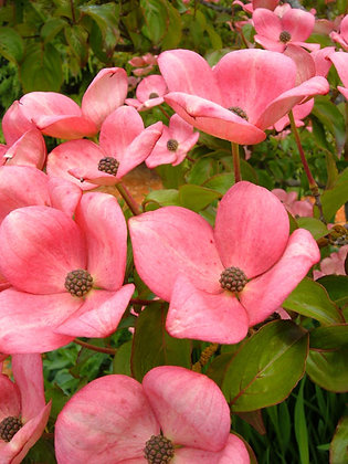 The Miss Satomi Dogwood tree, Cornus kousa 'Satomi', produces deep pink flowers that covers the horizontal spreading branches