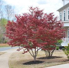 beautiful red japanese maple
