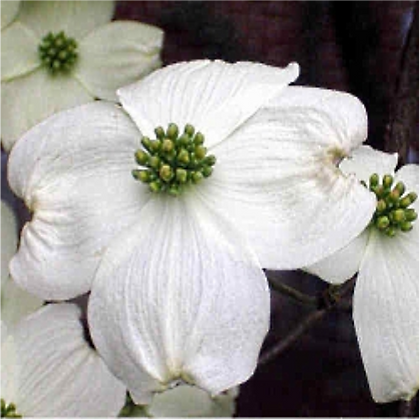Cherokee Princess dogwood is known for its consistency. It regularly produces abundant flowers early in the season.
