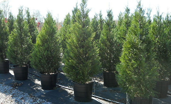 Murray Cypress is an evergreen relative of the popular Leyland Cypress, but has a few differences that make it better.