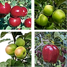 apples varieties