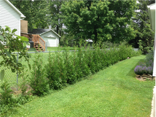 Thuja Can Can Trees