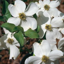 When Cloud Nine Flowering Dogwood opens its profusion of cumulus cloud-white blossoms each year, it will be the most sensatio