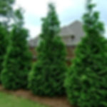 thuja-green-giant