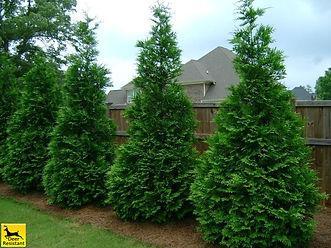 thuja trees
