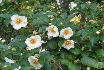 stewartia flowers