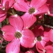 Cherokee Brave Dogwood tree is a captivating small tree you'll want to plant outside your living room, dining room, or