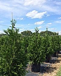 green giant trees