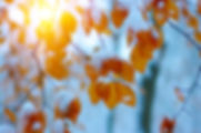 Yellow leaves in snow on sun. Late fall and early winter. Blurred nature background with shallow dof