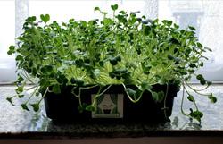 Growing in the windowsill