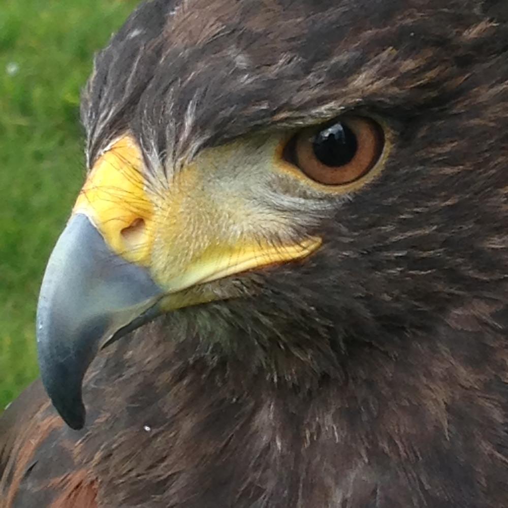 Eela my beautiful female Harris Hawk