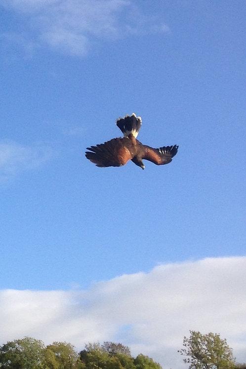Hawk Walk - 1-2-1