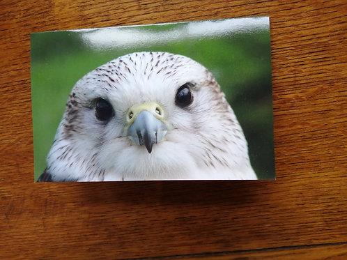 Bird of Prey - Kalil