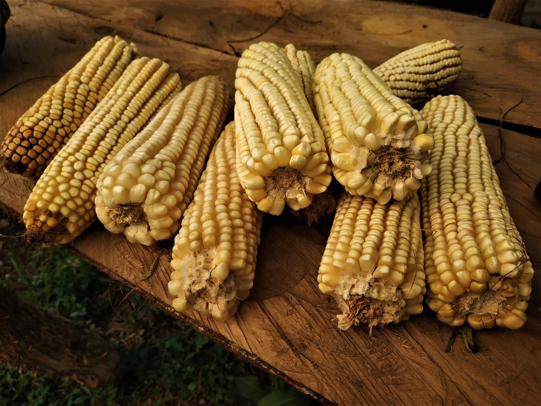 Semilla de maíz para el próximo año