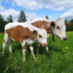 Palviaisen tla lehmät